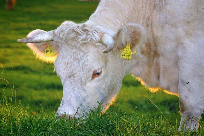 Cowspiracy, il saggio-denuncia sull'allevamento intensivo degli animali