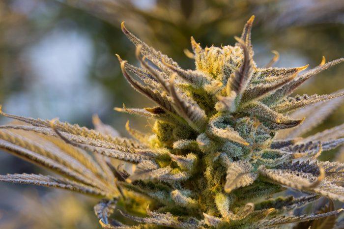 La cannabis può davvero dare sollievo dalla malattia